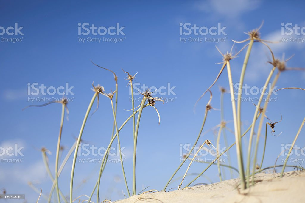 Desert Flowers royalty-free stock photo
