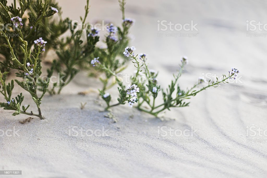 Desert Flowers royalty-free stock photo