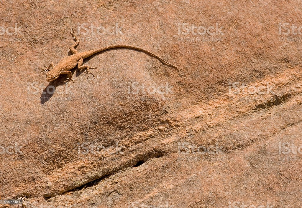Desert Gecko on Sandstone royalty-free stock photo