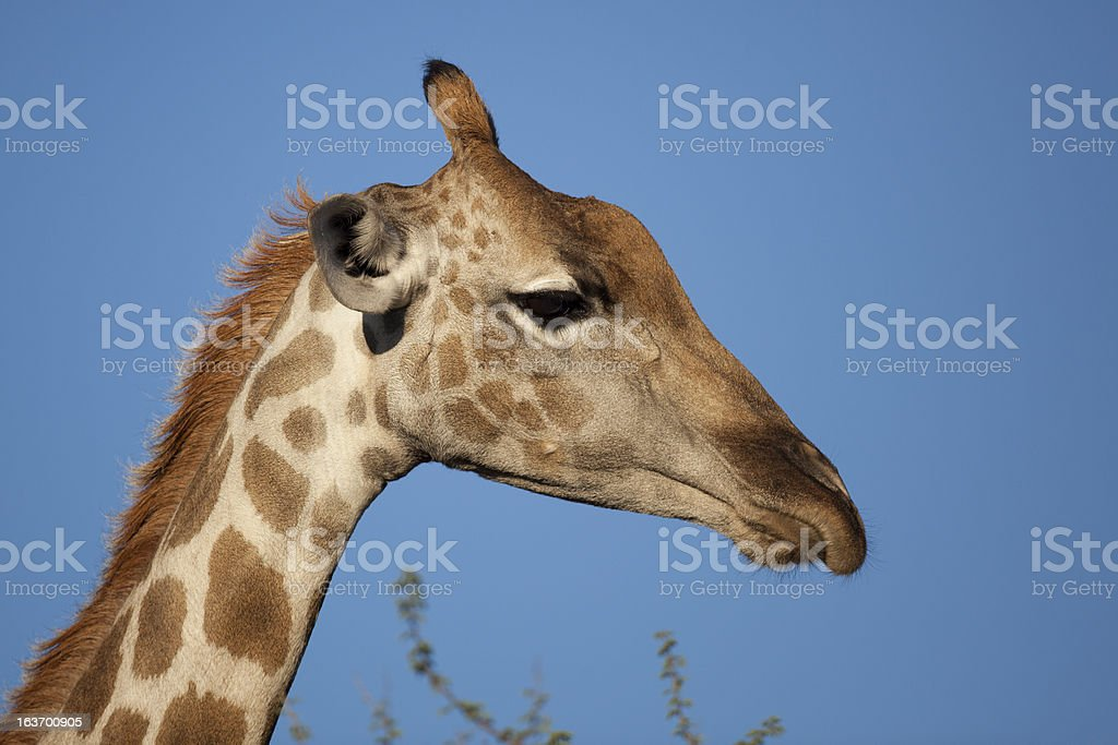 Desert giraffe close-up royalty-free stock photo