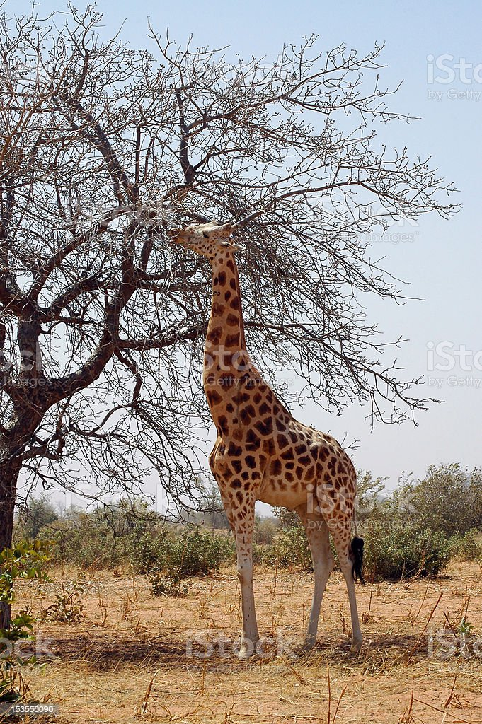 Desert giraffe eating from tree stock photo
