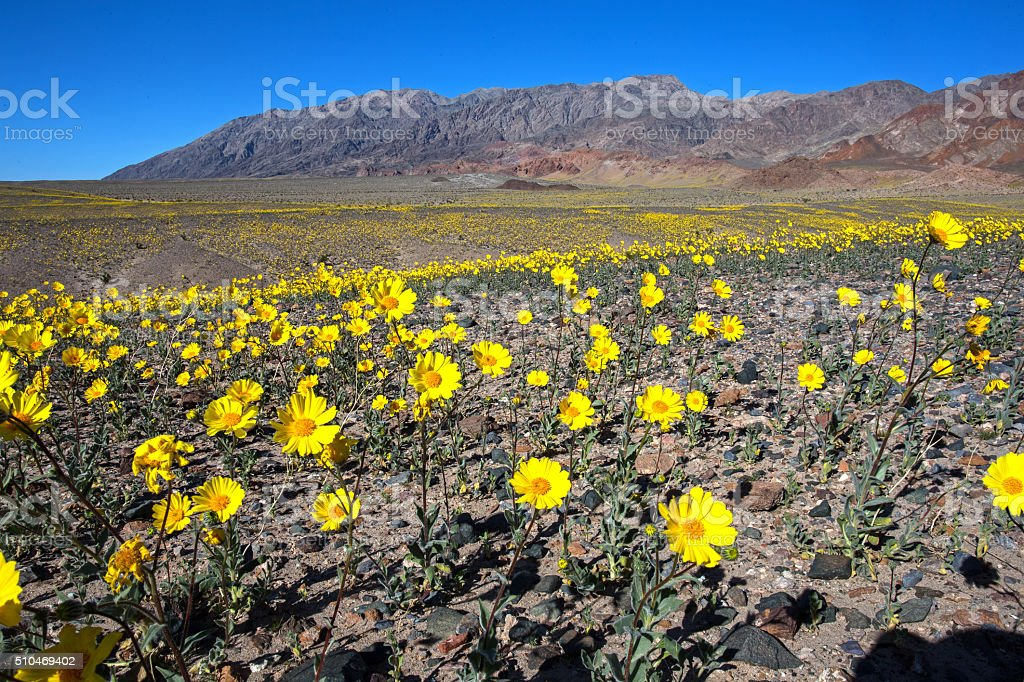 Desert Gold Death Valley #3 2016 stock photo