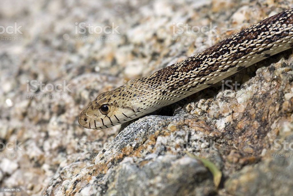 Desert Gopher Snake stock photo