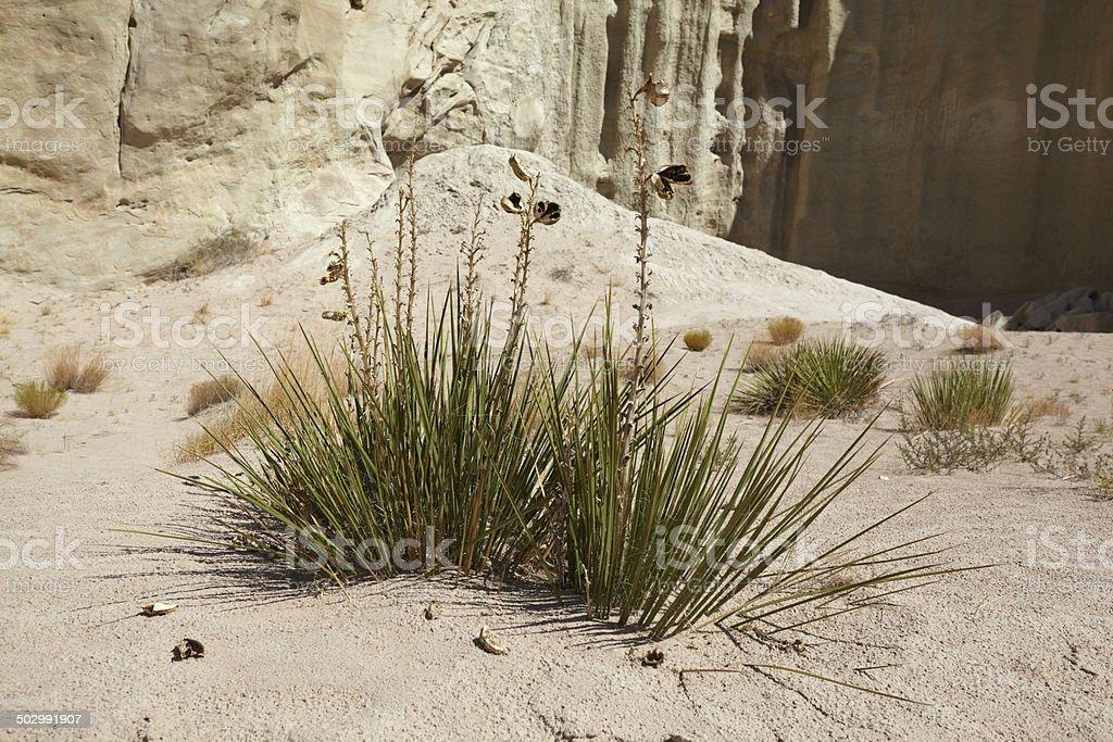 Desert Grass royalty-free stock photo
