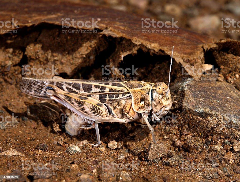 Desert Grasshopper royalty-free stock photo