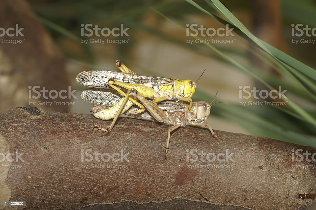 Desert Grasshoppers - Mating royalty-free stock photo