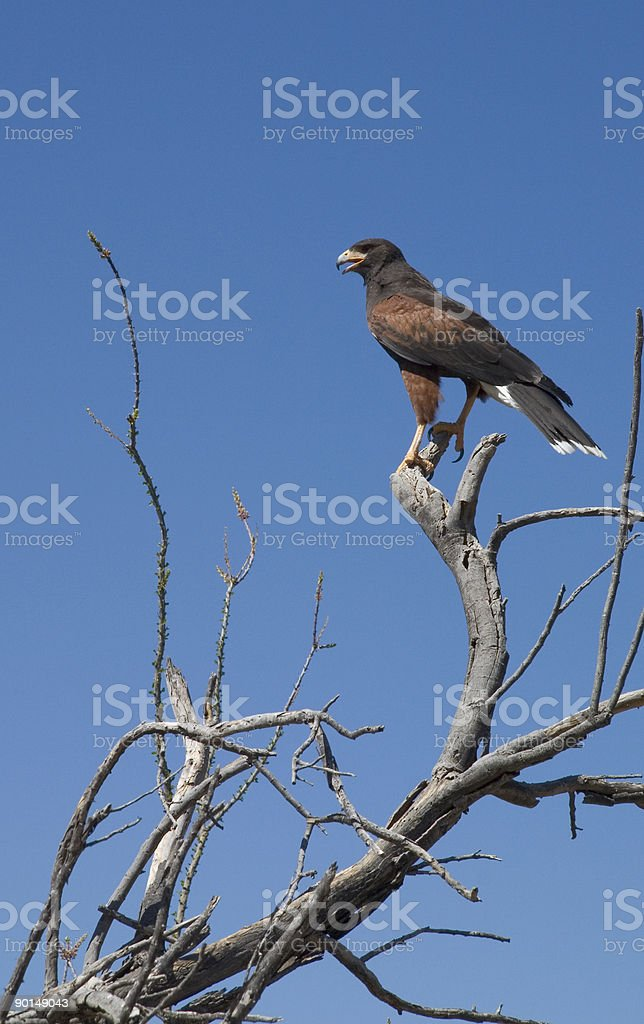 Desert hawk royalty-free stock photo