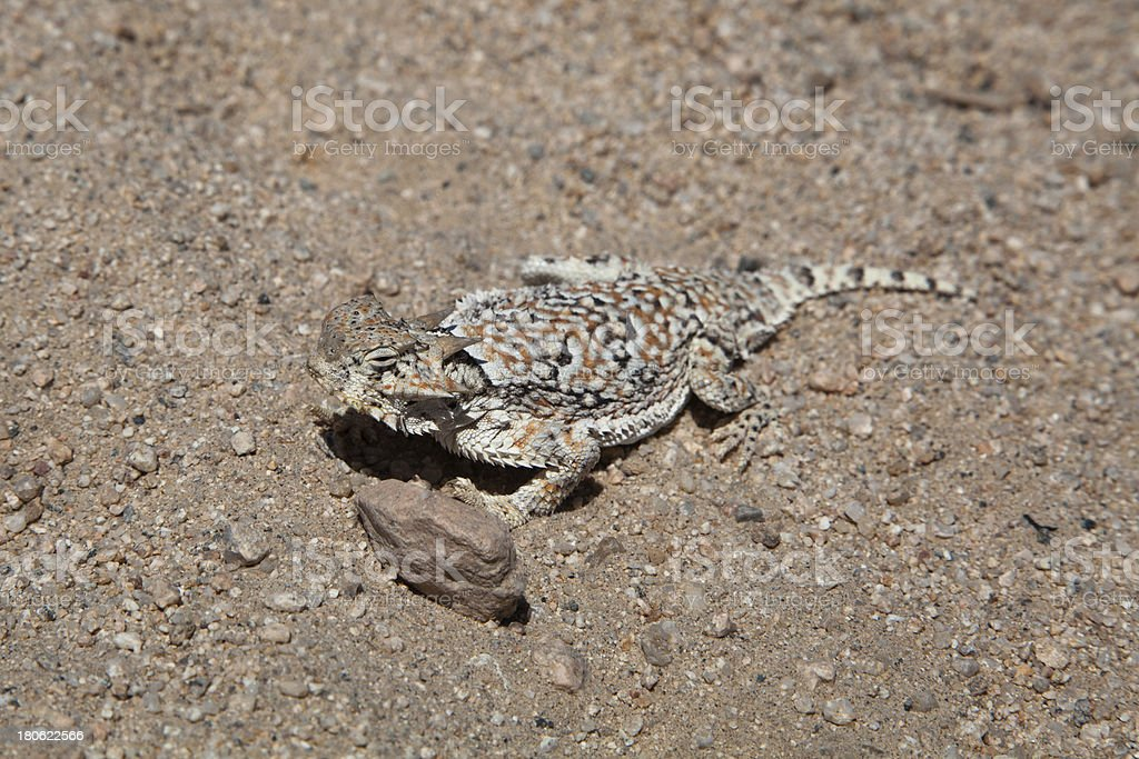 Desert Horned Lizard royalty-free stock photo