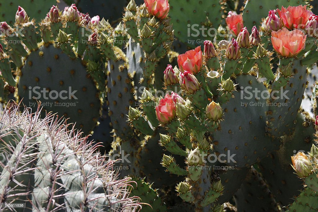 Desert in spring bloom stock photo