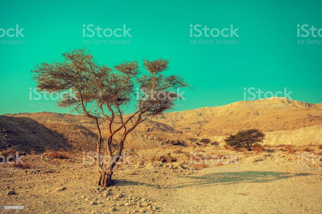 Desert landscape. Alone tree. Nature Israel stock photo