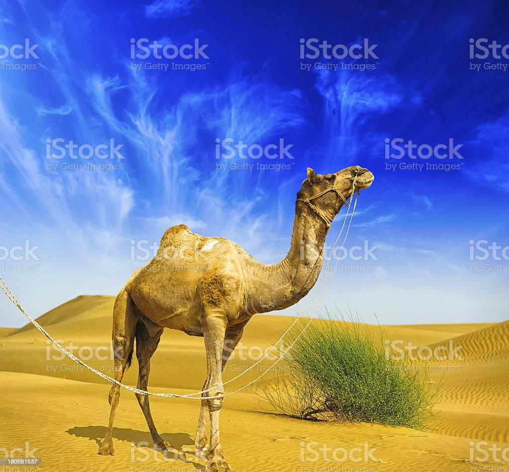Desert landscape. Sand, camel and blue sky with clouds royalty-free stock photo