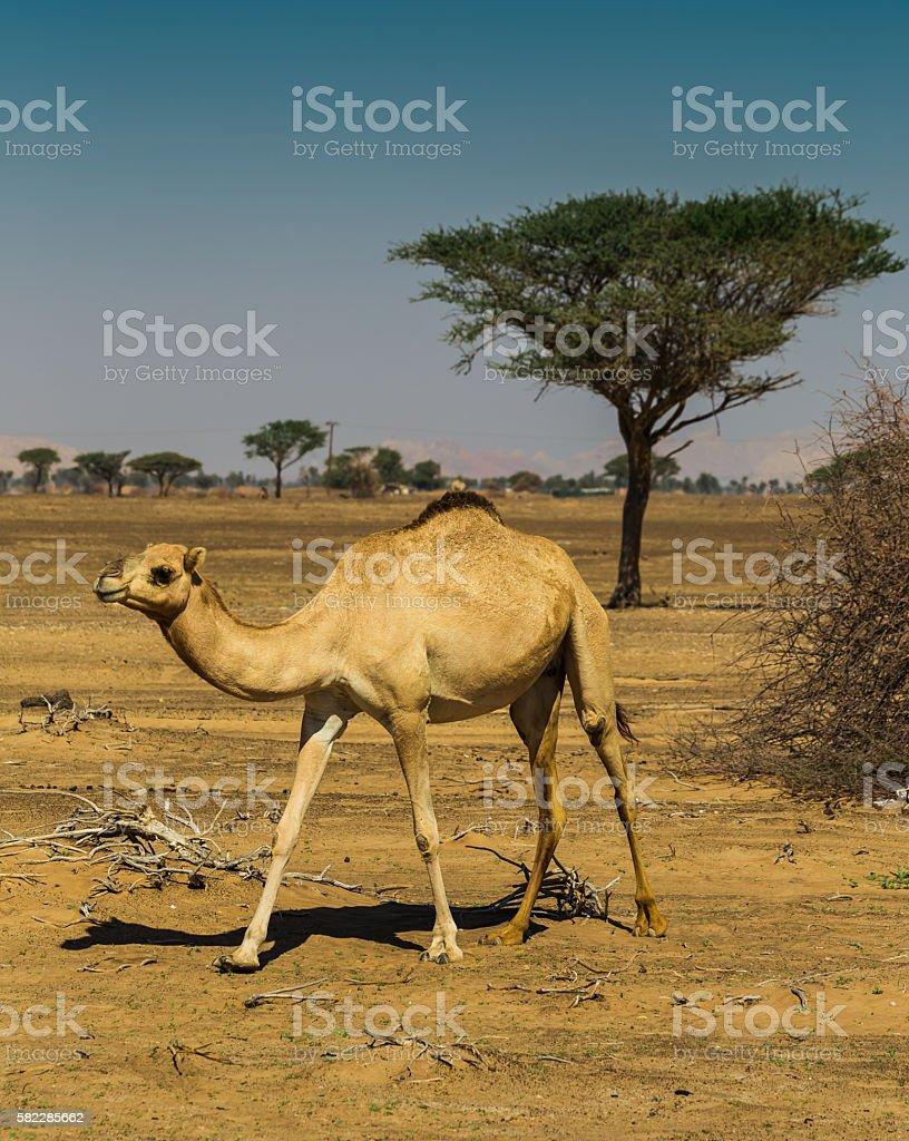 Desert landscape with camel stock photo