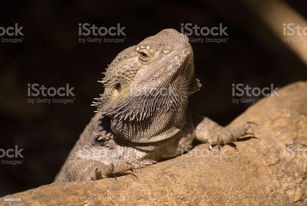 Desert Lizard stock photo