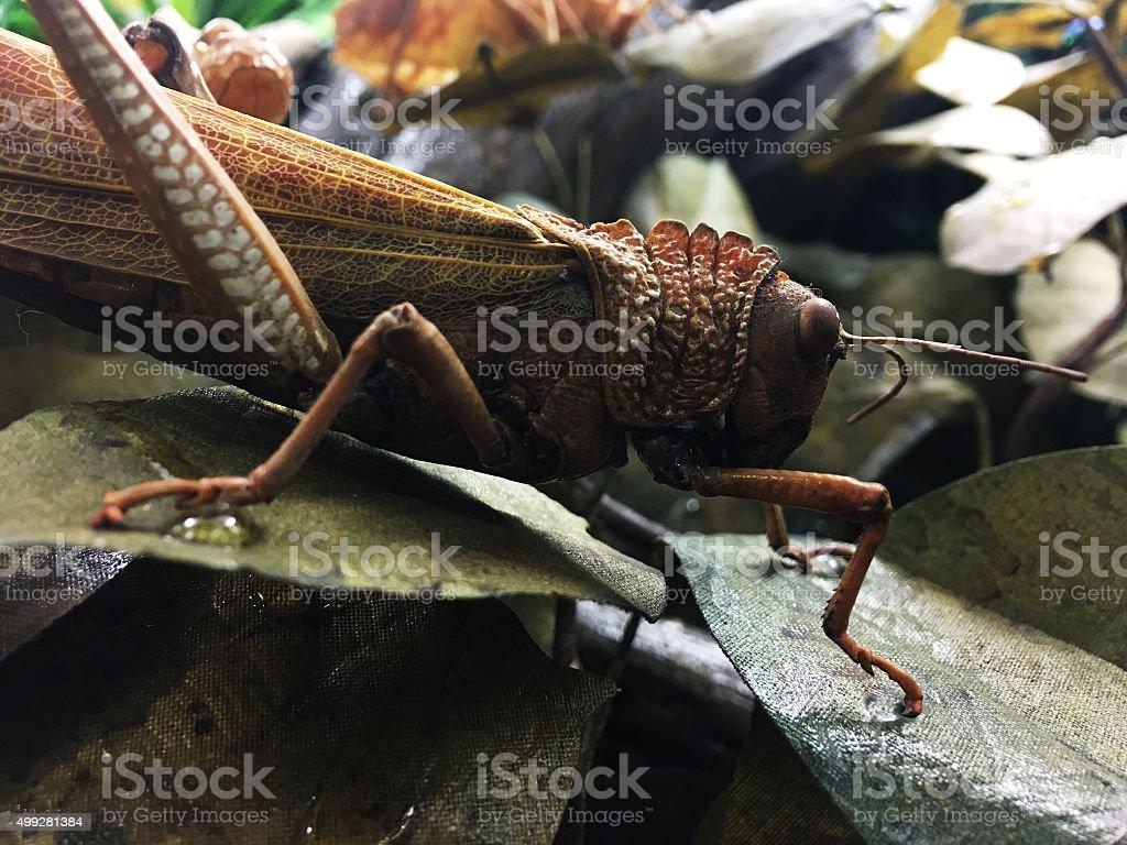Desert Locust. COlro Image stock photo