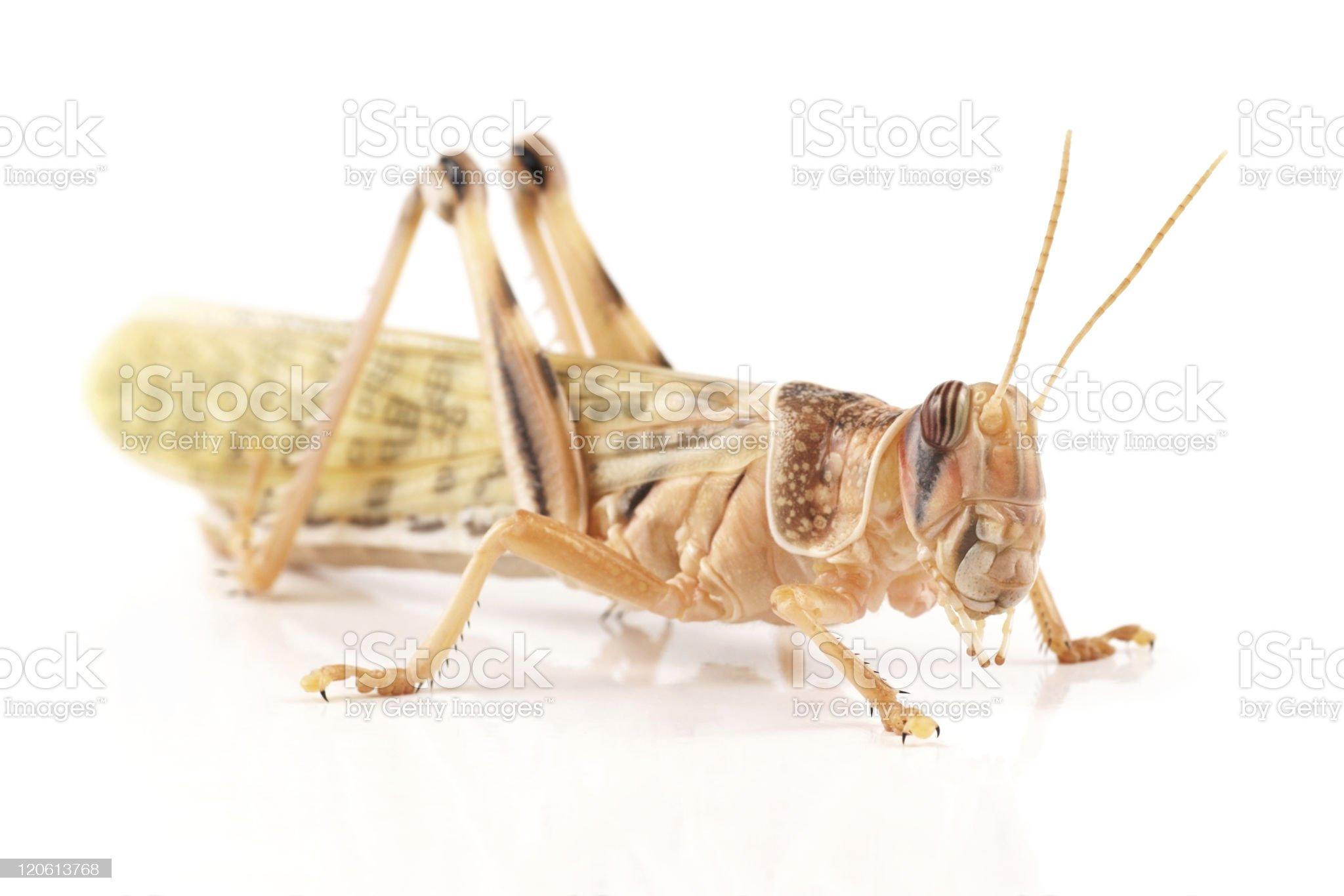 Desert locust (Schistocerca gregaria) royalty-free stock photo