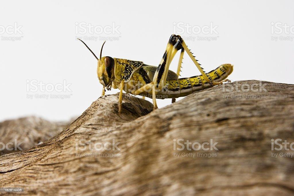 Desert Locust royalty-free stock photo