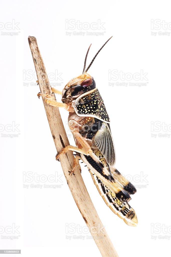 Desert locust (Schistocerca gregaria), pupa royalty-free stock photo
