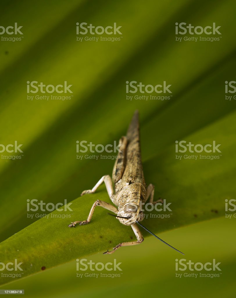 Desert locust Schistocerca gregaria male laid on green agave plant royalty-free stock photo