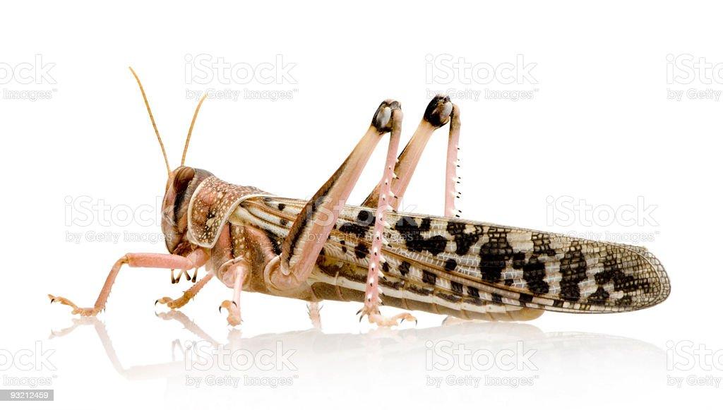 Desert locust - Schistocerca gregaria royalty-free stock photo