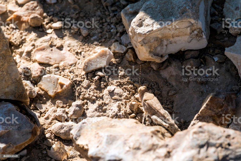 Desert locust sit between stones (Sphingonotus octofasciatus) stock photo