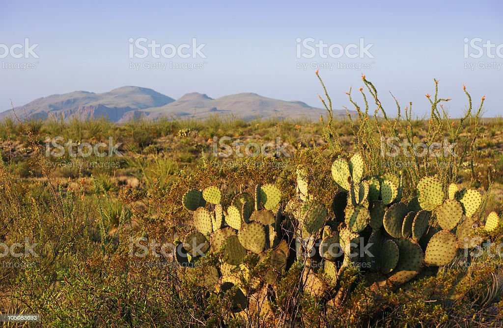 Desert morning with cacti royalty-free stock photo