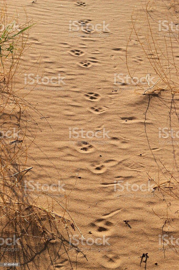 Desert pawprints royalty-free stock photo