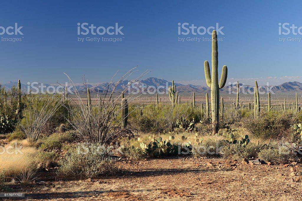 Desert plants at Saguaro National Park stock photo
