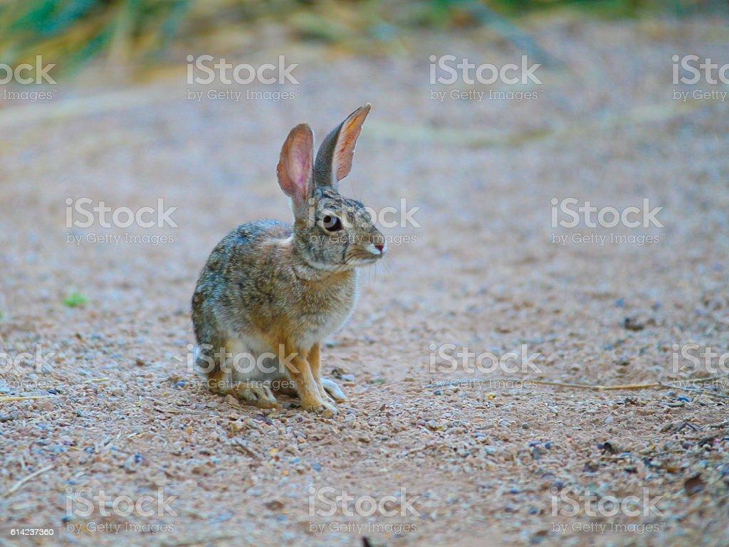 Desert Rabbit - Stock Image stock photo
