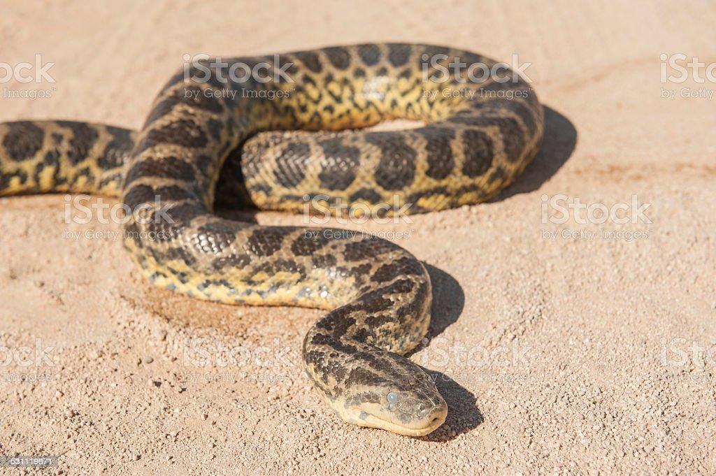 Desert rock python on sandy ground stock photo