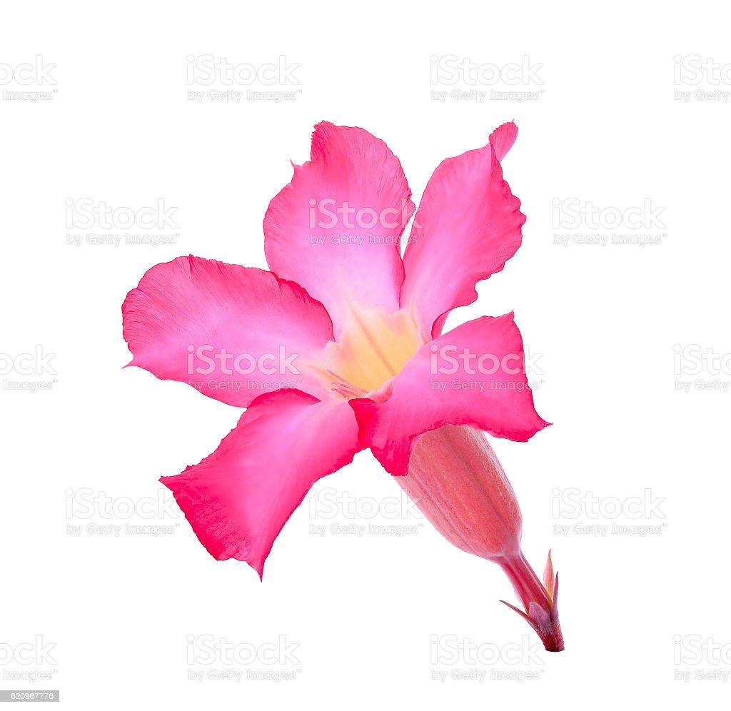 Desert Ros, Impala Lily, Mock Azalea flower isolated on white stock photo