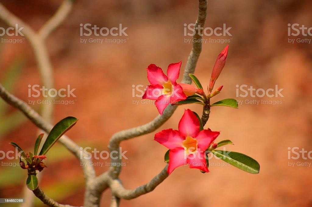 Desert Rose, Adenium obesum, In Singapore Botanical Garden stock photo