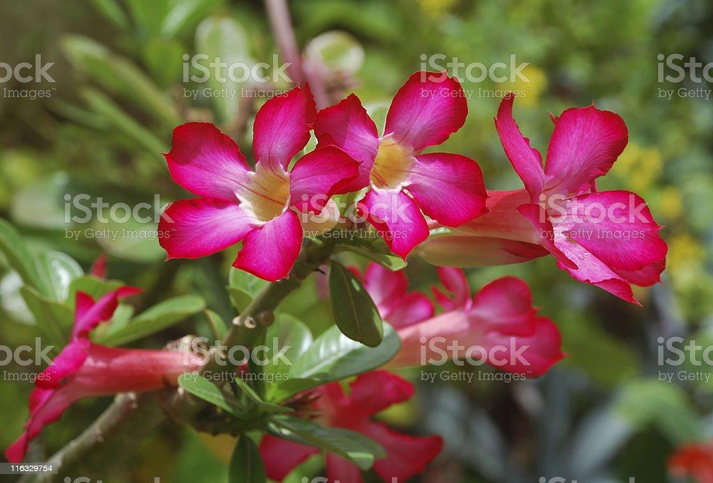 Desert Rose, Adenium Obesum stock photo