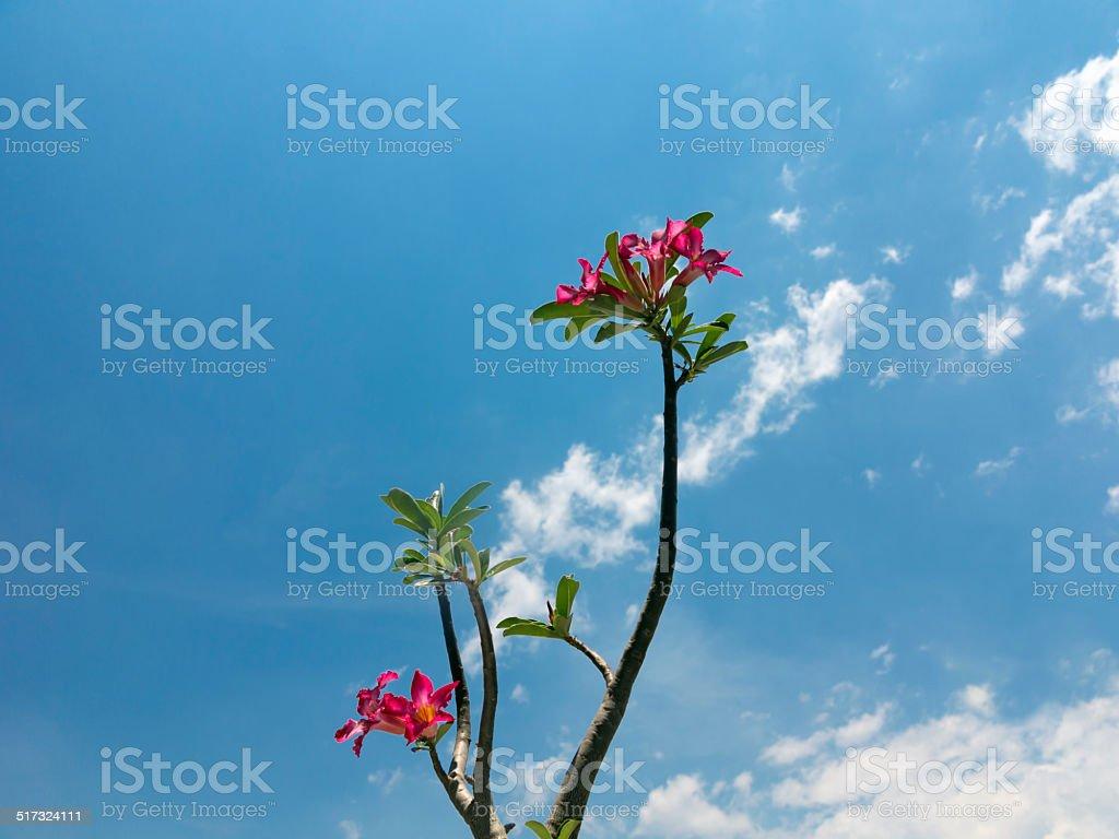 Desert Rose and blue sky stock photo