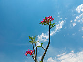 Desert Rose and blue sky
