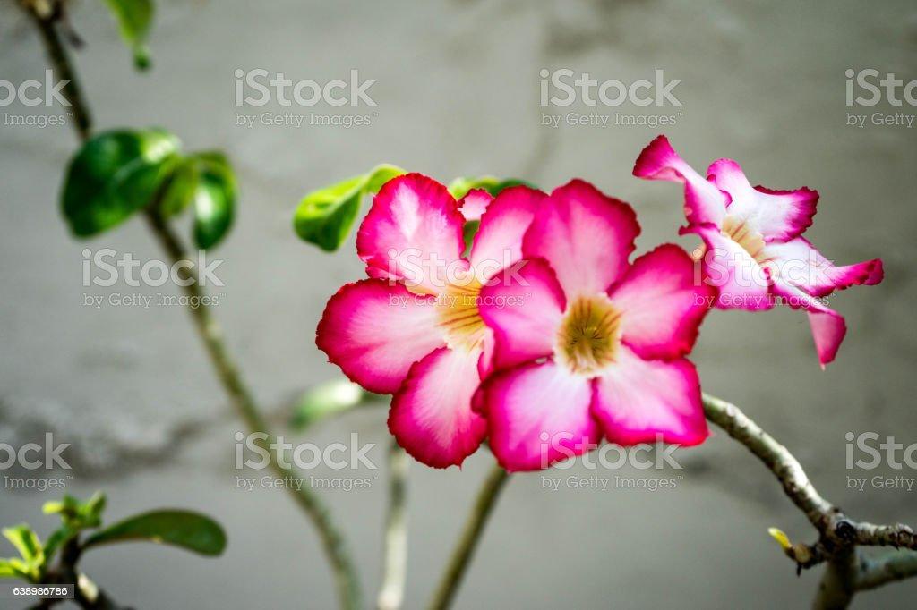 Desert Rose flower or Impala Lily flower stock photo