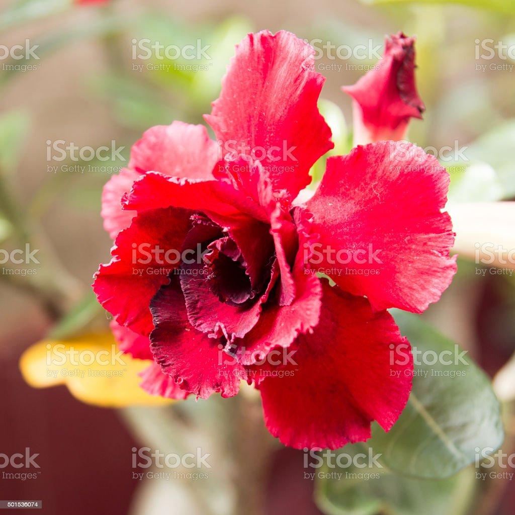 desert rose flower. stock photo