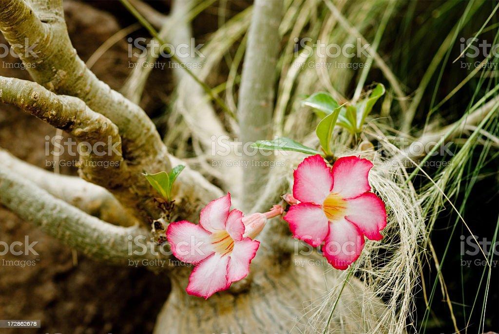 Desert Rose from Africa stock photo