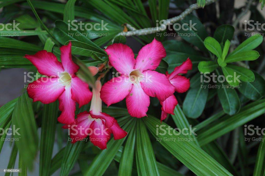 Desert Rose in Thailand stock photo
