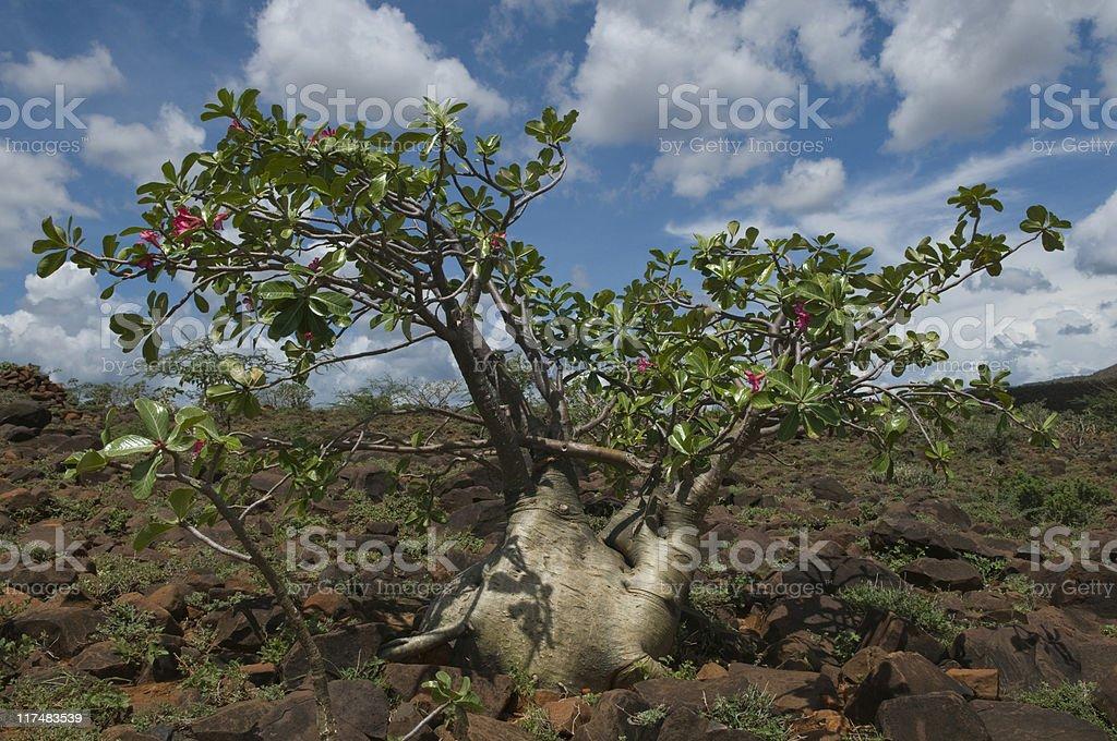 Desert Rose or Adenium in Turkana, Kenya stock photo