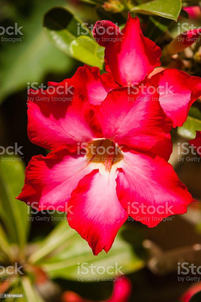 Desert Rose or Adenium Obesum in the UAE stock photo