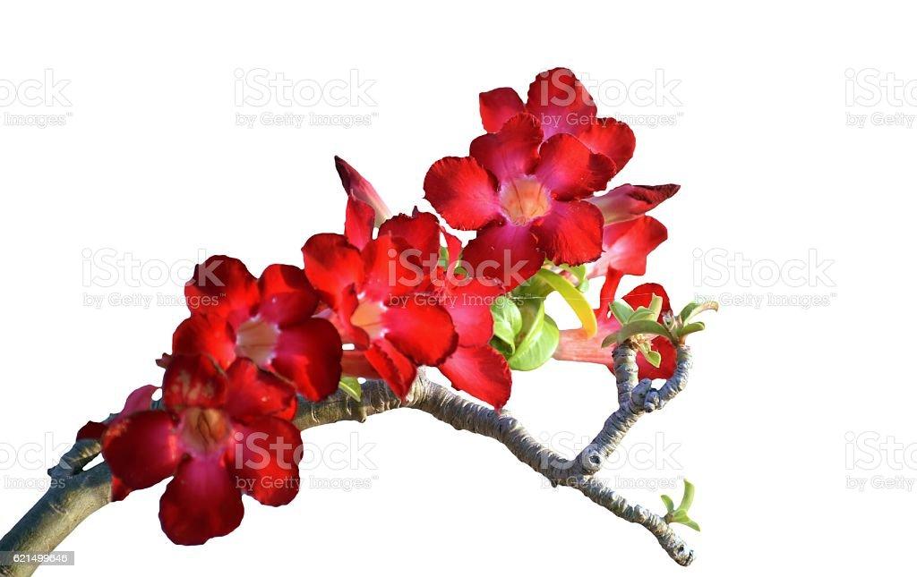 desert rose or Azalea flowers isolated on white background stock photo
