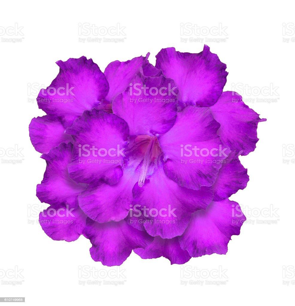 Desert Rose or Impala Lily or Mock Azalea isolate stock photo