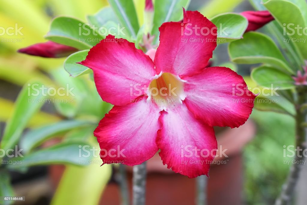 Desert Rose Tropical flower on a tree, or Impala Lily stock photo