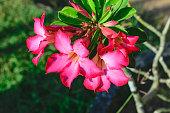 desert rose Tropical flower on a tree