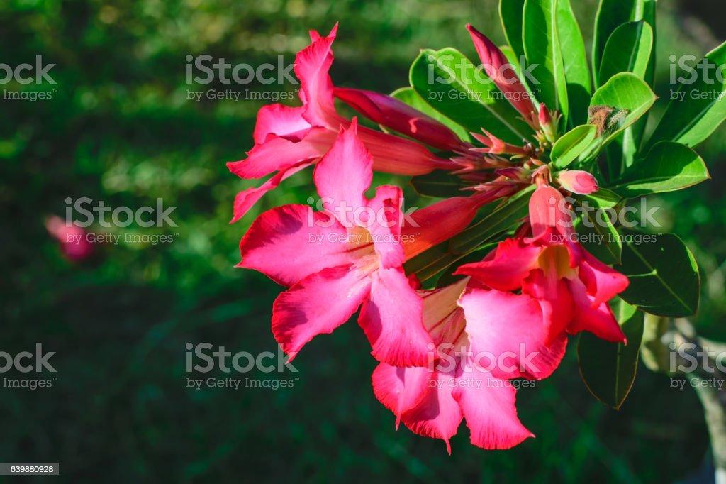 desert rose Tropical flower on a tree stock photo