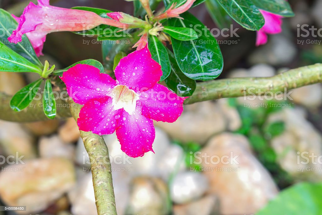 Desert Rose Tropical flower Pink adenium stock photo