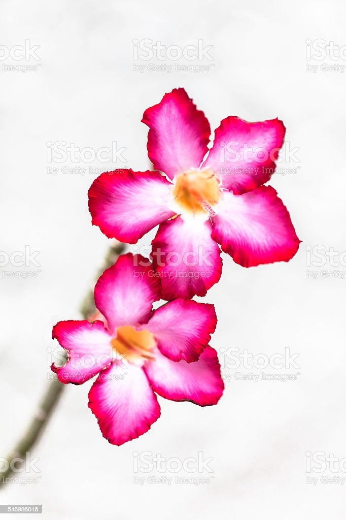 Desert Roses Isolated on White Background stock photo