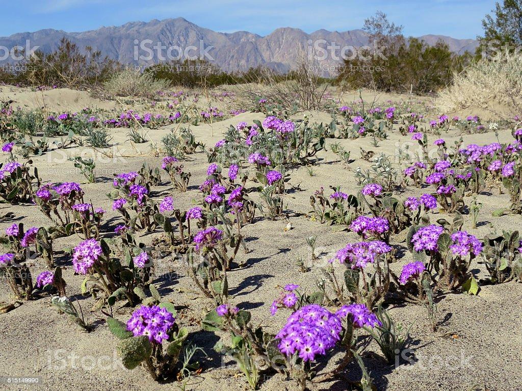 Desert Sand Verbena - Abronia villosa stock photo