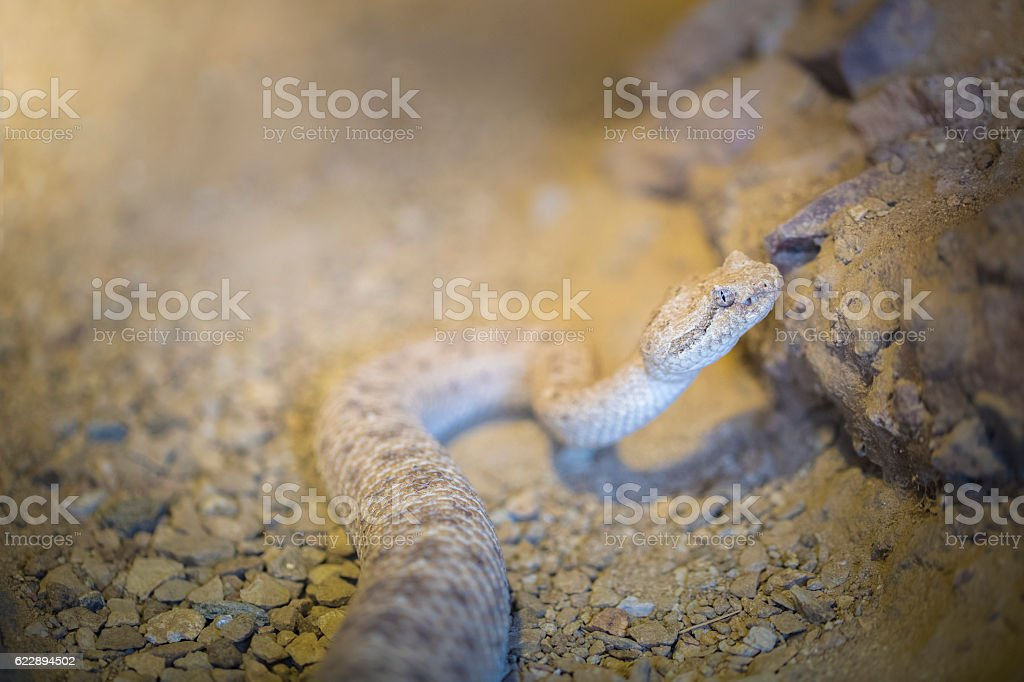 Desert Sidewinder Snake stock photo