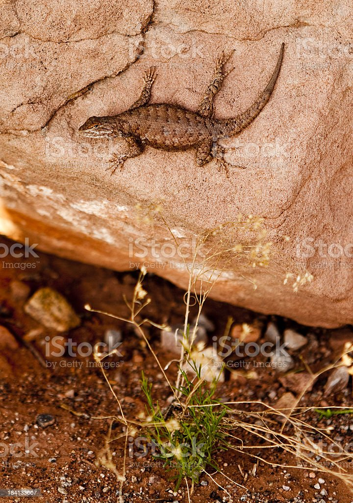 Desert Spiney Lizard stock photo